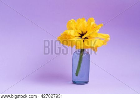 Flower In A Vase. Yellow Terry Tulip In A Vase On A Purple Background. Minimal Composition For Valen