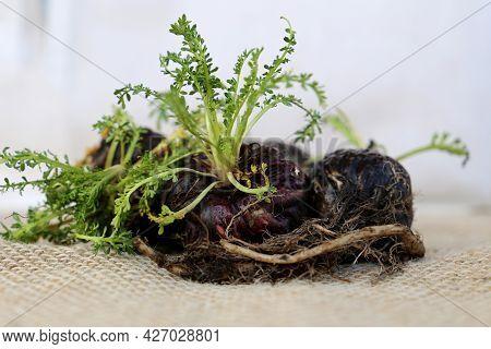 Maca. Peruvian Root For Vitality, Energy And Healty. Black Peruvian Maca In Rustic Background