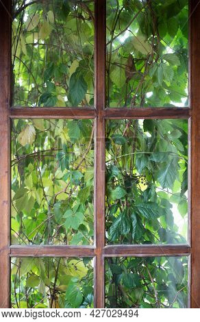 Overgrown Window. Old Wooden Window Overgrown With Ivy Leaves Or Parthenocissus. Vintage Style.