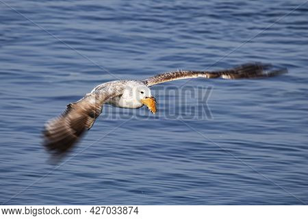Seagull Bird On The Lake. Seagull In The Water. Water Life And Wildlife. Birds Flying And Swims. Nat