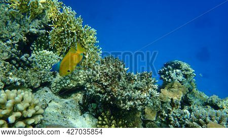 Sulphur Damsel (pomacentrus Sulfureus) Undersea, Red Sea, Egypt, Sinai, Ras Mohammad National Park