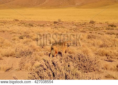An Andean Fox Gracing In The Foothill Of Atacama Desert, The Los Flamencos National Reserve, Norther