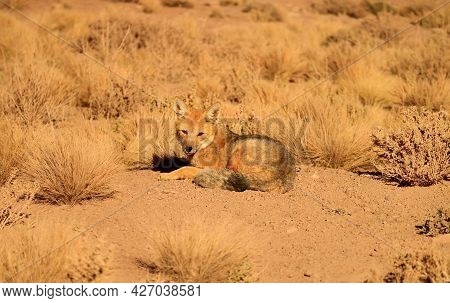 A Friendly Andean Fox Sunbathing In The Field Of Atacama Desert, Altiplano Of Northern Chile, South