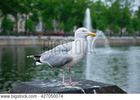 White seagull sitting near Hofvijver lake with fountain. The Haugue, the Netherlands