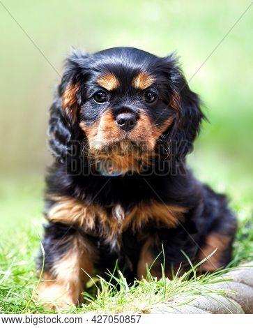 Marmaduke the black and tan Cavalier King Charles spaniel puppy