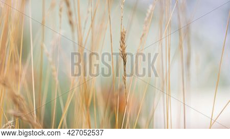 Close up shot of tall dry grass with selective focus