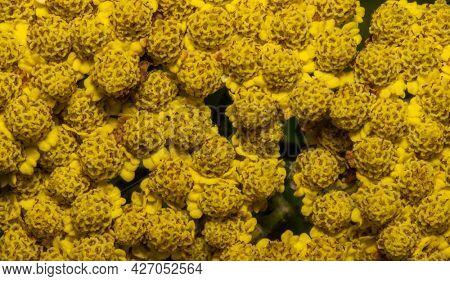 Close up shot of yellow Achillea Coronation Gold details