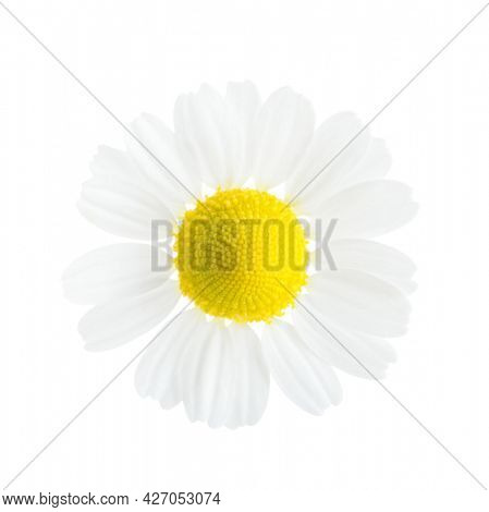 Small flower of Chamomile  isolated on white background. Close-up. Matricaria chamomilla