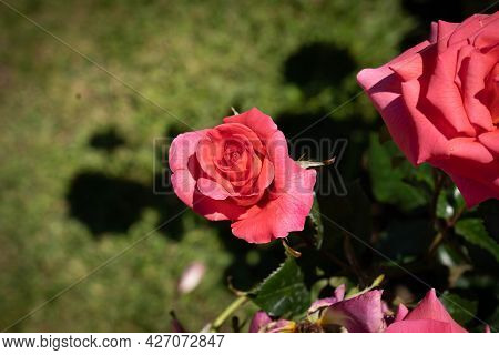 Image Of A Pink Rose With Green Leaves In Rome, Italy