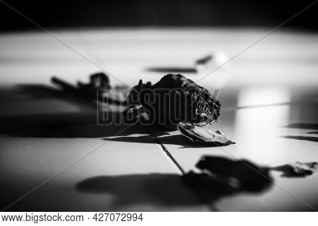 Dry Rose On Floor Dark Black And White. Couple Melancholy Regret Disappointed Cry Lonely Sad Shatter