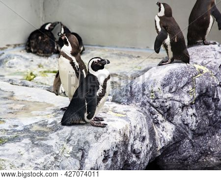 Group Of South African Penguins Spheniscus Demersus Also Known As The Jackass Penguin, Black-footed