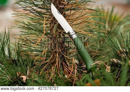 Folding French Knife. Folding Pocket Knife. Knife With A Wooden Handle. Knife On A Spruce Branch. Fr