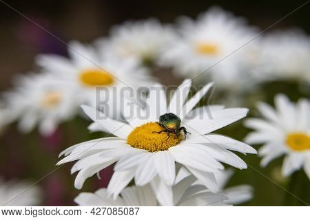A Large Emerald Beetle Sits On A Chamomile Flower In A Blooming Garden
