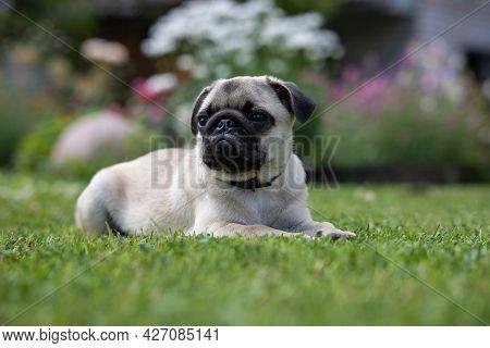 Cute Pug Puppy In A Flea And Tick Collar Lying On A Fresh Green Lawn