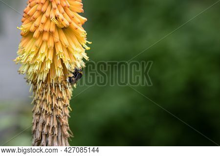 A Large Bumblebee Collects Nectar From A Colorful Kniphofia Flower