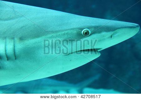 Grey Reef Shark (carcharhinus Amblyrhynchos) Head Shot