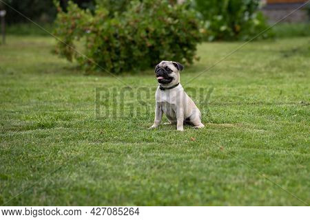 Pug Puppy In A Flea And Tick Collar Sits On A Green Lawn In A Summer Garden