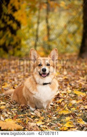 Dog Sits On The Ground Covered With Yellow Fallen Leaves In Autumn Forest And Looks At The Camera An