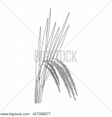Rice Plant Illustration Isolated On A White Background. Paddy Sketch.