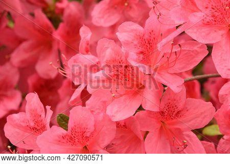 Beautiful Flowering Pink Azalea Bush In The Springtime.