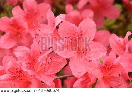 Beautiful Day With A Flowering Pink Azalea Bush.