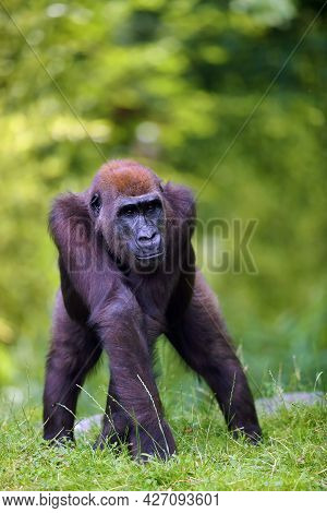 The Western Lowland Gorilla (gorilla Gorilla) Standing On A Grassy Hill. Young Ape In Captivity. Low
