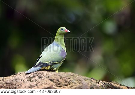 The African Green Pigeon (treron Calvus) Sitting On A Thick Branch With A Colorful Jungle Background