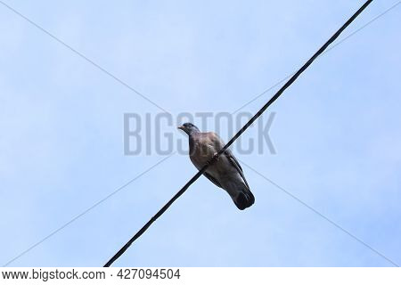 Wild Pigeon Sitting On An Electric Wire. Blue Sky In The Background.