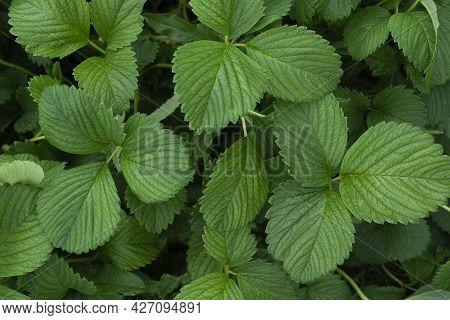 Green Leaves Of Garden Strawberry For Background Wild Strawberry Leaves Strawberry Bush Green Foliag