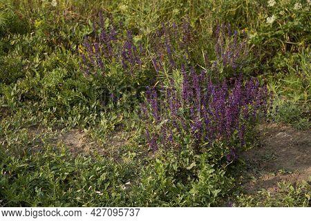 Sage Herbal Plant Growing In The Field