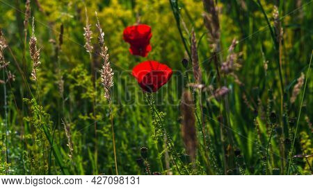 16:9 Image A Field Poppy Blooming In A Meadow Lit By The Afternoon Sun