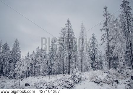 Alone Pine Tree In The Middle Of A Meadow. A Barren Impenetrable Wilderness Covered With Snow Locate