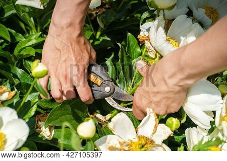 Male Hands Hold A Pruner And Cut Off A Branch Of A Tree-like White Peony In The Garden, The Gardener