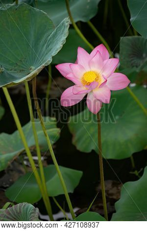 Blooming Lotus Flower At A Vertical Composition