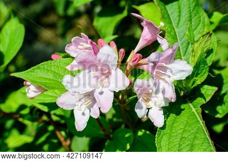 Close Up Of Delicate White Weigela Florida Plant With Flowers In Full Bloom In A Garden In A Sunny S
