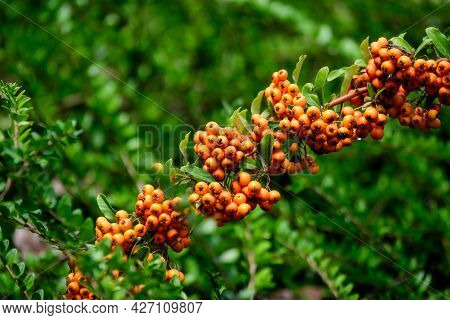 Small Yellow And Orange Fruits Or Berries Of Pyracantha Plant, Also Known As Firethorn In A Garden I