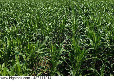 Green Maize Corn Field Plantation In Summer Agricultural Season