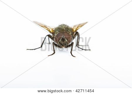Close Up Of A Green Bottle House Fly