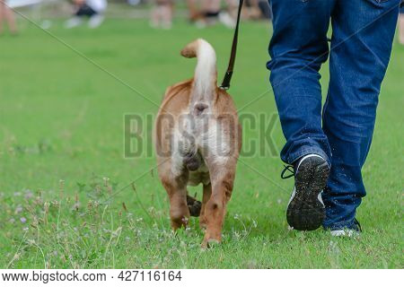 Lower Section Of Man Walking His Pet On Leash. Modern Meat-mouth Shar Pei. Lifestyle. Back View. Mot