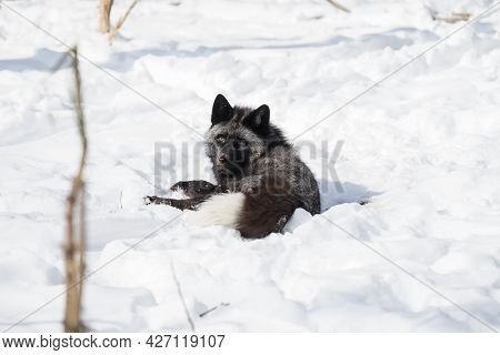 Silver Fox Lies In The Snow In The Winter Forest And Looks At The Camera. Fox In The Wildlife.