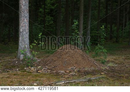 Large Anthill Of Pine Needles And Other Things In The Summer Green Coniferous Forest. Formicary Nest