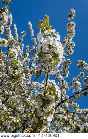 Beautiful Blooming Apple Tree In Spring On A Blue Sky Background. Blooming Branches Of An Apple Tree