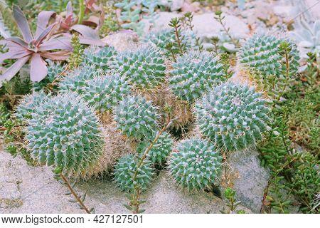Cactaceae Juss, Closeup. Cactus Grow In A Greenhouse. Summer Landscape.