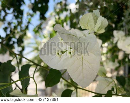 Evergreen Ornamental Shrub Or Bougainvillea Tree (latin - Bougainvillea)