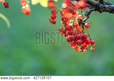 A Branch With Ripe Red Currant Berries Against The Background Of The Garden. Copyspace