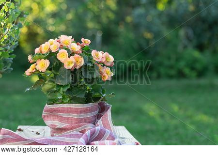 The Houseplant Begonia In A Flower Pot Of Pink Color Is Decorated With Fabric Against The Background