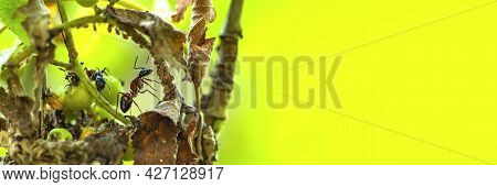 Ants Eat Aphids. Several Ants Hunt Aphids On The Leaves Of The Tree. Panoramic Shot With Space To In