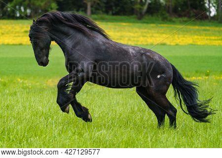 Black Friesian Horse Runs Gallop On Field.