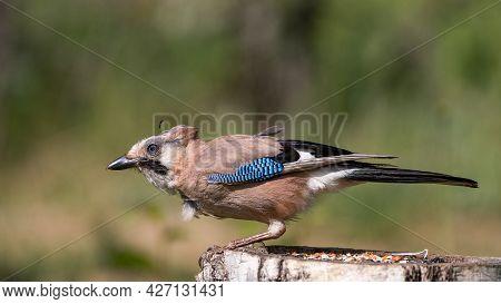 Eurasian Jay Garrulus Glandarius Portrait Close Up. A Bird In Poor Plumage.