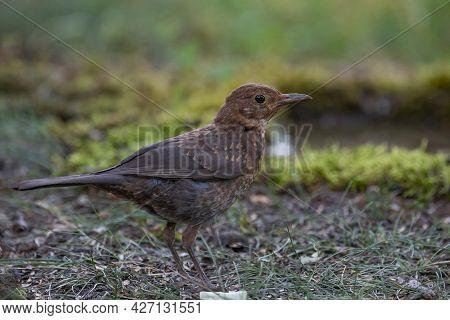 Juvenile Blackbird, Turdus Merula, In The Wild.